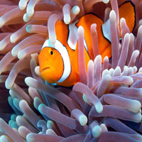 Australia Clownfish with Anemone
